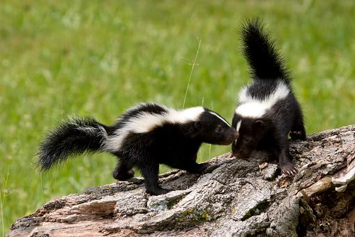 Skunk Buddies 485861342