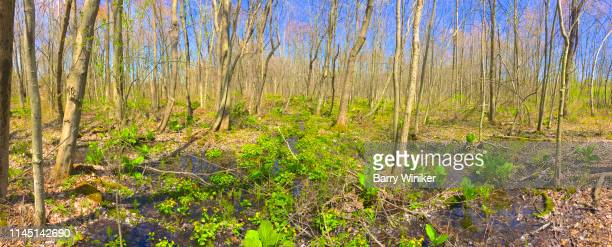 skunk cabbage in columbia county in spring - barry wood stock pictures, royalty-free photos & images