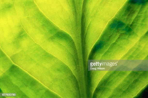 skunk cabbage leaf - 藻 ストックフォトと画像