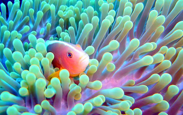 Skunk clownfish and sea anemone