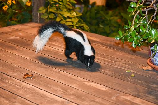 Skunk in Backyard Patio 485890048