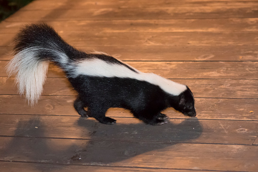 Skunk in Backyard Patio 486901986