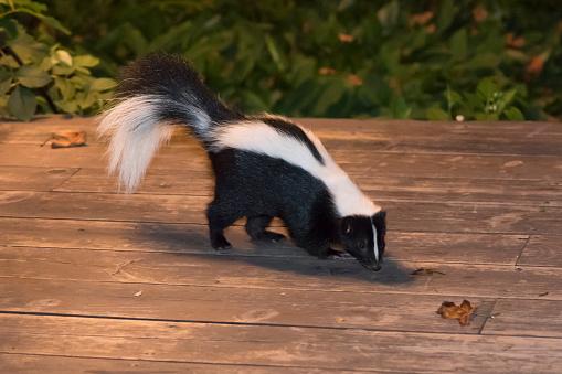 Skunk in Backyard Patio 489180734