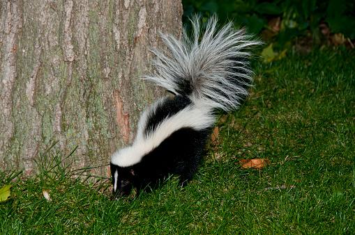 Skunk in Backyard 583958320