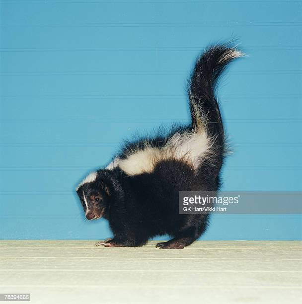 skunk in defensive posture - skunk stock pictures, royalty-free photos & images