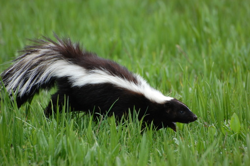 Skunk in Early Spring 146054145