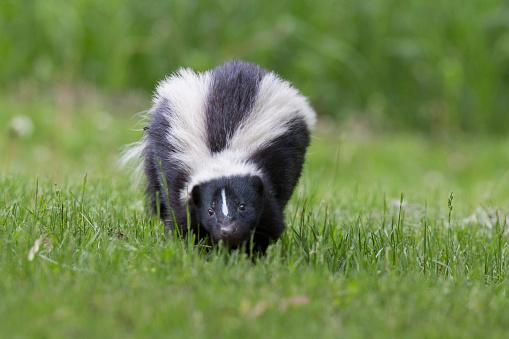 Skunk in spring 542801990