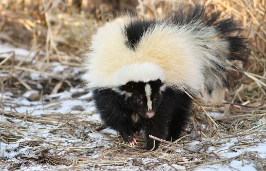 Skunk in winter 590078760
