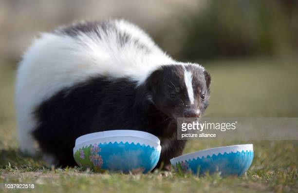 A skunk named 'Lavendel' is nibbling at pieces of meat that have been hidden in an Easter egg Some of the zoo residents received a few surprises at...