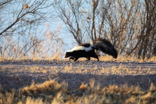 Skunk (Mephitis mephitis) New Mexico 958185034