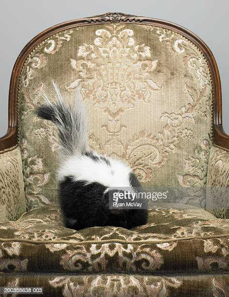 Skunk on armchair