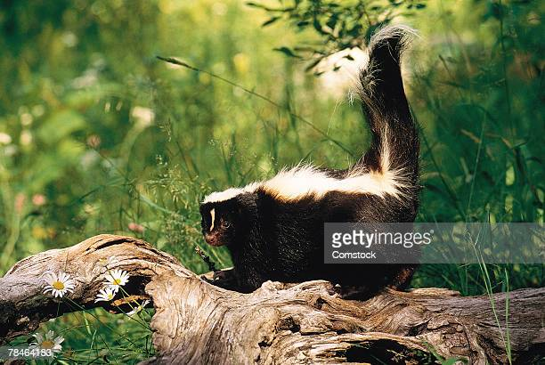 skunk on log - skunk stock pictures, royalty-free photos & images