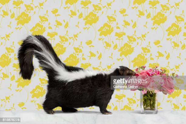 skunk on marble with wallpaper smelling flowers - skunk stock pictures, royalty-free photos & images
