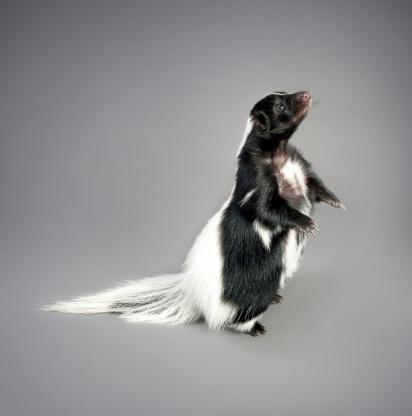 Skunk 153909742