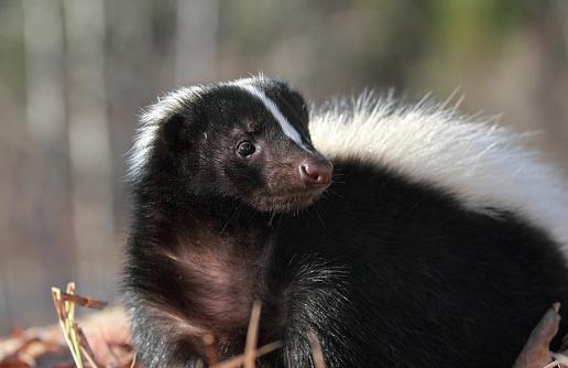 skunk 497990568