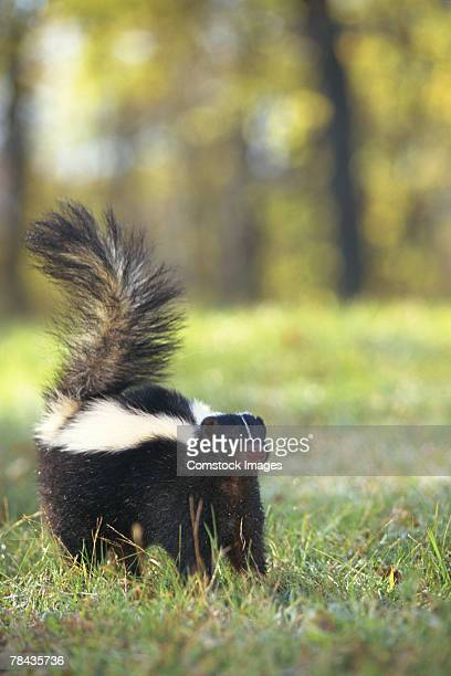 skunk - skunk stock pictures, royalty-free photos & images