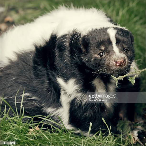 skunk sniff the nettle - skunk stock pictures, royalty-free photos & images