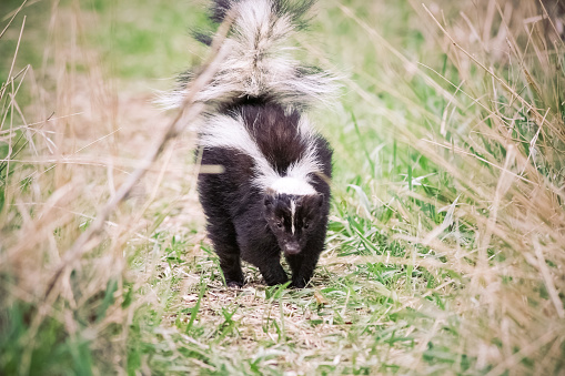Skunk walking on grassy nature path with tail up 471497166