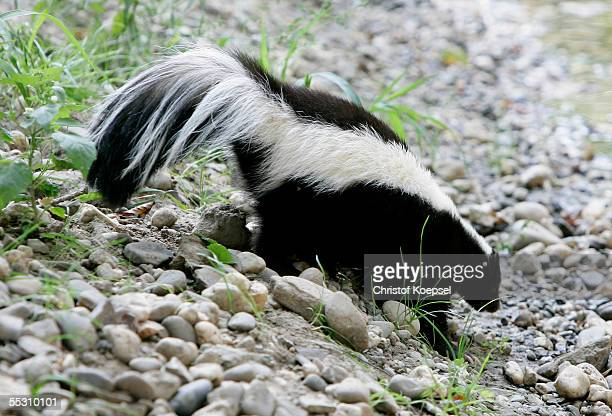 A skunk walks in the zoo on September 06 2005 in Gelsenkirchen Gelsenkirchen is one of the host cities that will be used to stage the FIFA World Cup...