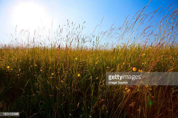 Sky and field of tall grass