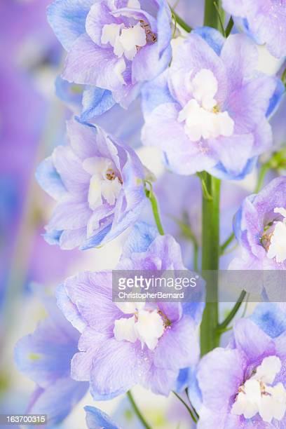 sky blue delphinium - delphinium stock pictures, royalty-free photos & images