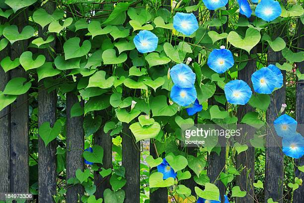 Sky Blue Morning Glories On Fence
