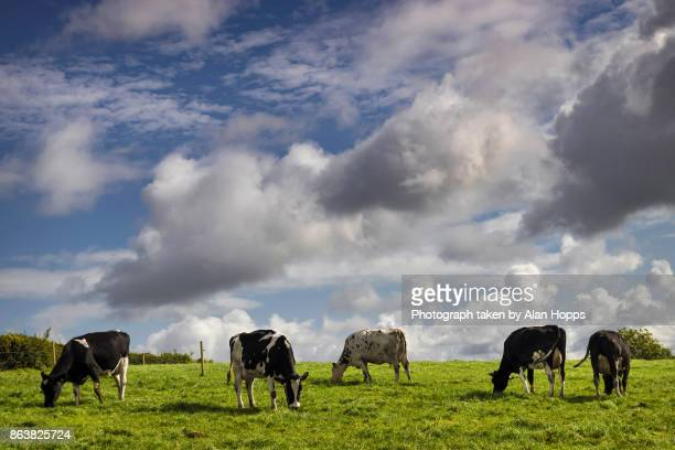 Sky, cows and grass