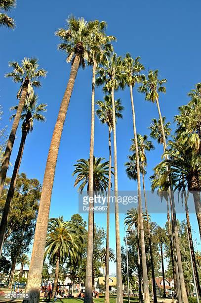 sky high palm trees