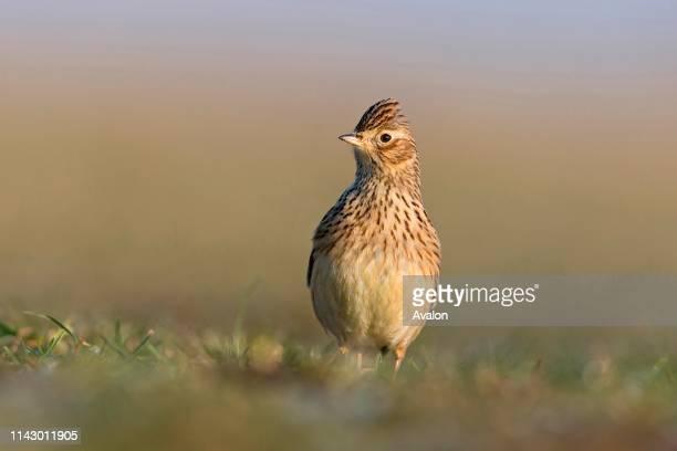 Skylark adult standing on grassland Suffolk England January