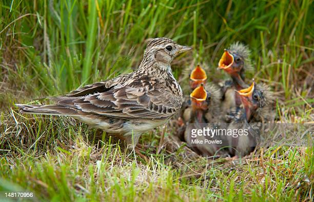 Skylark, Alauda arvensis, at nest with young, UK