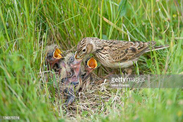 Skylark, Alauda arvensis, feeding chicks in nest amongst grass, Norfolk, UK