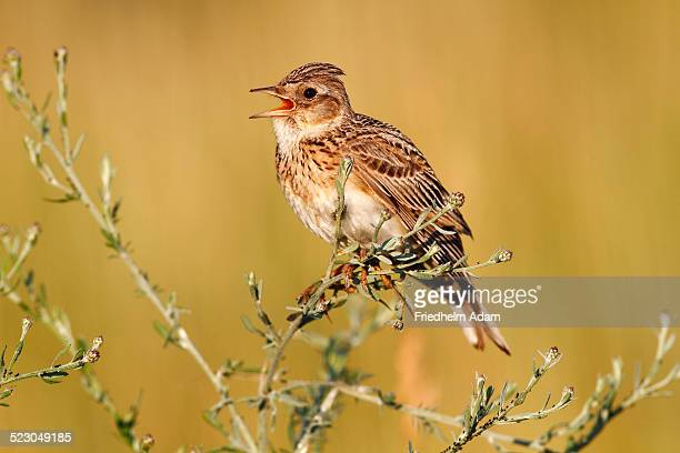 Skylark -Alauda arvensis-, perched on a grassy plant, singing, Apetlon, Lake Neusiedl, Burgenland, Austria, Europe