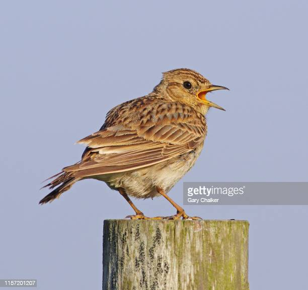 skylark [ alauda arvensis] - birdsong stock pictures, royalty-free photos & images