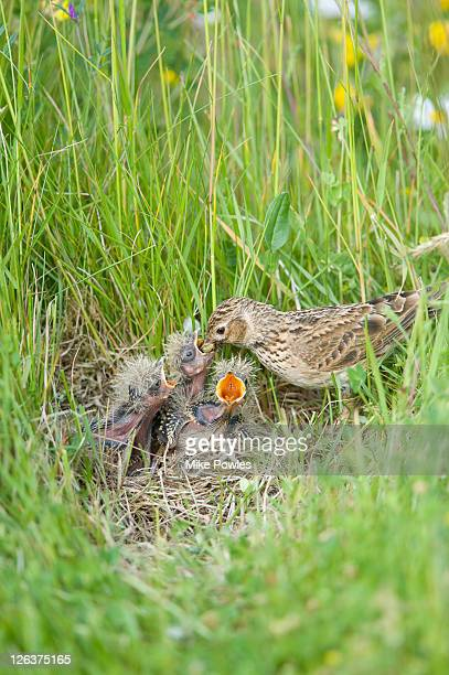 Skylark (Alauda arvensis) feeding chicks, East Anglia, UK (1 of 3)