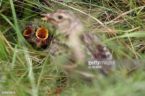 A skylark nest with chicks awaiting food is pictured close to the 6th tee on day three of the 2016 British Open Golf Championship at Royal Troon in...