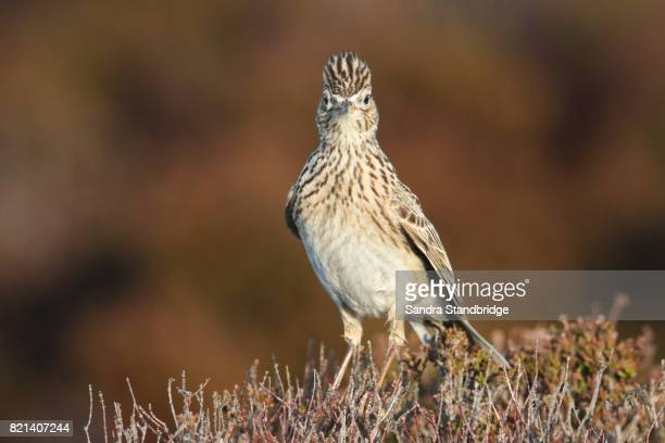 A Skylark (Alauda arvensis) perched on a heather bush .