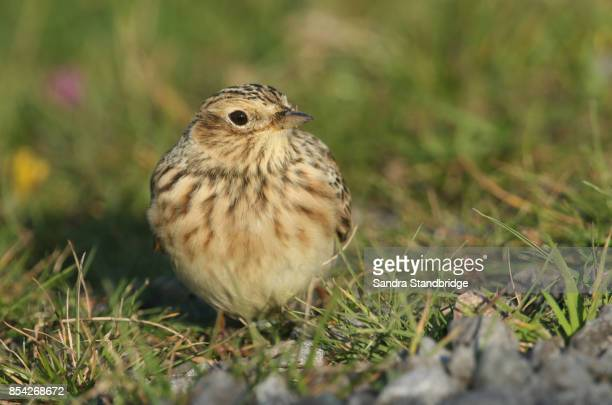 A Skylark (Alauda arvensis) perched on the ground in a grass field.