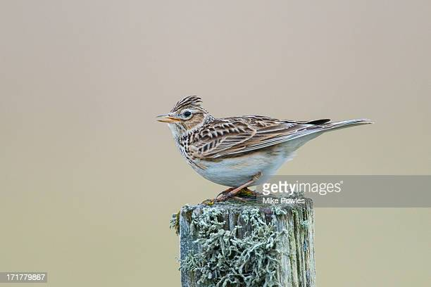 Skylark singing, North Uist, Hebrides