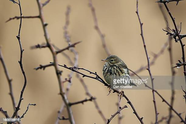 Skylark sits in a tree at Elmley Marshes on April 12 2013 in Sheerness England The RSPB's Elmley Marshes lies on the Isle of Sheppy and is managed by...