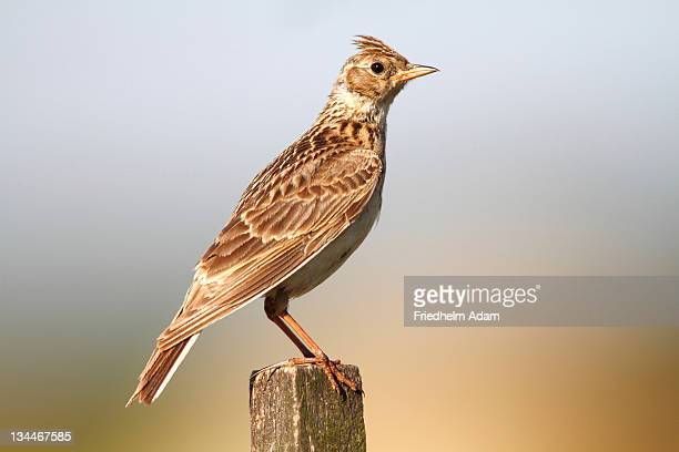 Skylark (Alauda arvensis) sitting on a fence post