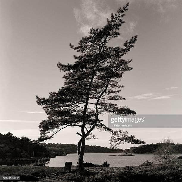 Slanted tree by lake