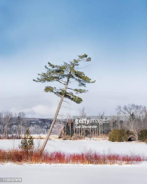 Slanted Tree in Winter