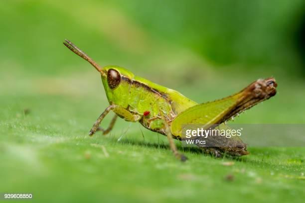 Slantfaced pasture grasshopper Icononzo Tolima Colombia