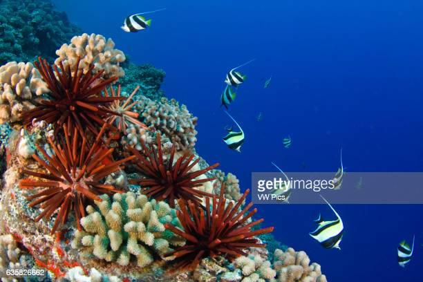 Slate pencil sea urchins Heterocentrotus mammillatus color the foreground of this Hawaiian reef scene Pennantfish Heniochus diphreutes and moorish...