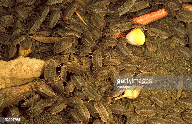 Slaters or Woodlice swarm at the edge of a Red river gum wetland feeding on decaying vegetable matter and associated fungi common in wetlands after...