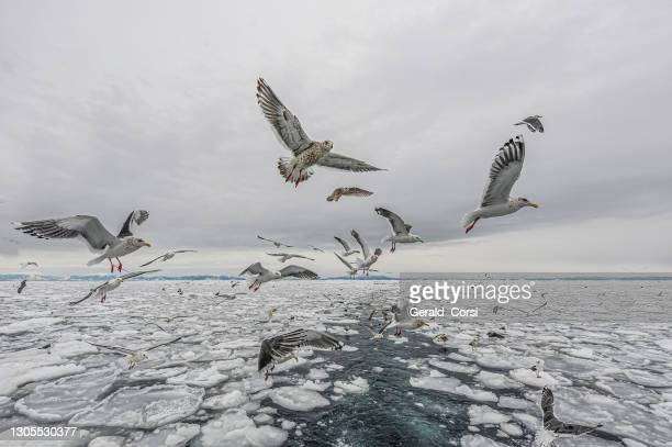 slaty-backed gull (larus schistisagus), is a large white-headed gull. hokkaido, japan, sea of okhotsk - pack ice stock pictures, royalty-free photos & images