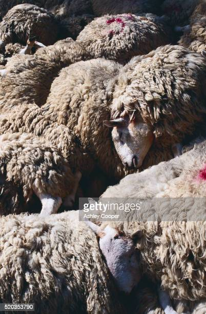 slaughtered foot and mouth sheep - zoonotic diseases stock pictures, royalty-free photos & images