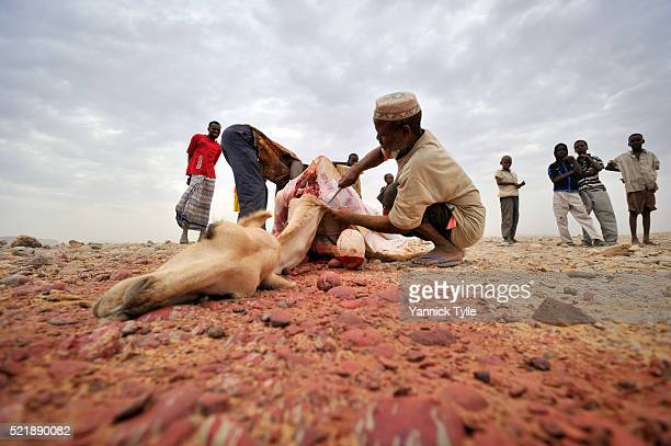 slaughtering a camal in puntland, somalia - eid mubarak photos et images de collection