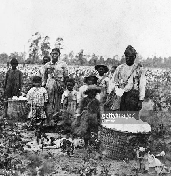 Slave family picking cotton in the fields near Savannah 186 Stereograph Havens Savannah