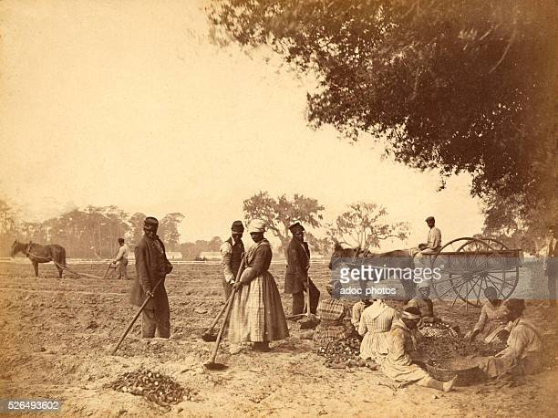 Slaves working in the sweet potato fields in the Hopkinson plantation . Ca. 1862.